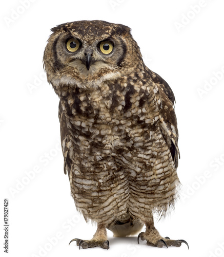 Fotobehang Uil Spotted eagle-owl - Bubo africanus (4 years old) in front of a w
