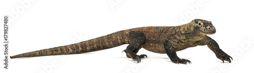 Komodo Dragon walking, isolated on white