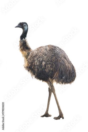 Staande foto Struisvogel ostrich Emu