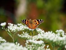 Butterflies: Monarch, Painted ...