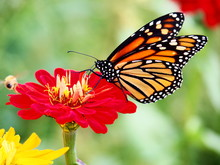 Butterflies: Monarch, Painted Lady, Cabbage White
