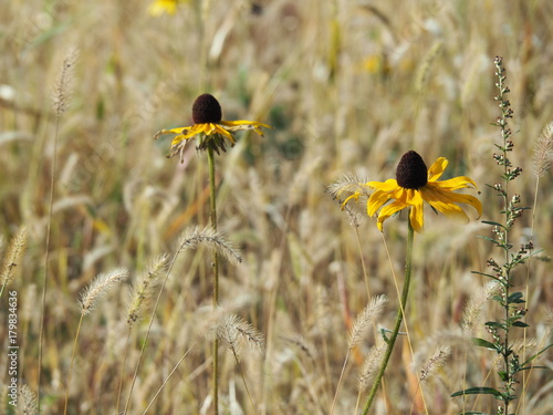 Yellow flowers among tall grass black eyed susans buy this stock yellow flowers among tall grass black eyed susans mightylinksfo