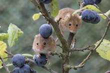 Harvest Mouse, Mice Close Up P...