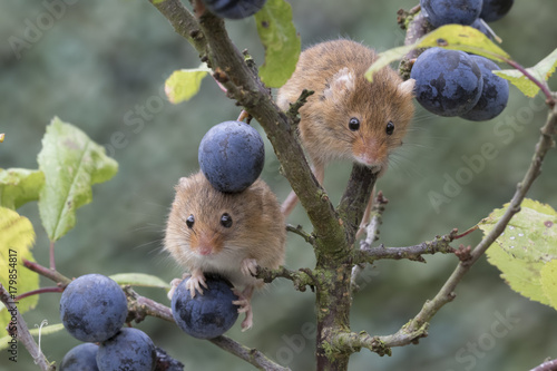 Valokuva  harvest mouse, mice close up portrait with blurred background on thistle, corn,