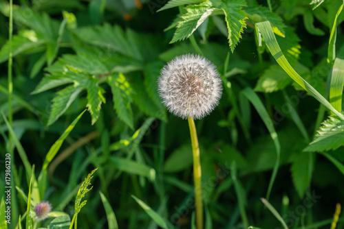 Fotografie, Obraz  Close up of a common dandelion  Taraxacum officinale