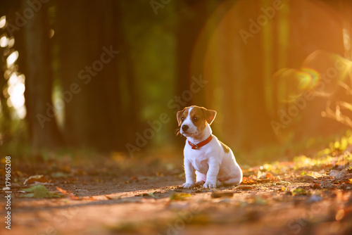Obraz jack russel puppy on autumn alley - fototapety do salonu