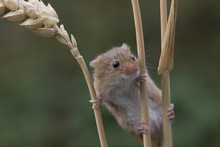 Harvest Mouse, Mice Close Up P...