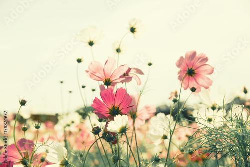 In de dag Bloemen Vintage color cosmos flower in the field