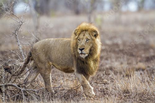 Zdjęcie XXL Afrykański lew w Kruger parku narodowym, Południowa Afryka