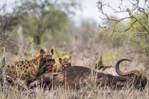Staande foto Leeuw Spotted hyaena in Kruger National park, South Africa