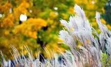 Pampas Feather Grass Autumn Park