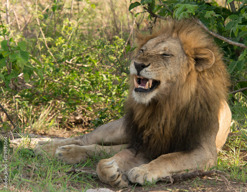 African Lion in Nature