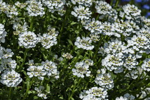 White Arabis Alpina Caucasica Flower At Garden, Zavet, Bulgaria