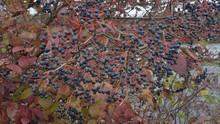Roughish Arrow-wood Fall Berries