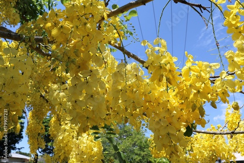 Cassia Fistula Tree With Yellow Flowers In Summer Australia Buy