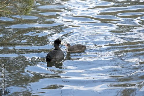 Fotografie, Obraz  coot with chick hatchling