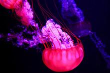 Glowing Purple And Pink Jellyfish