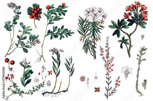 Fotografie, Obraz  Illustrations of plants.