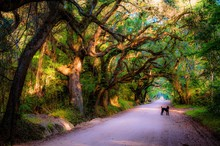 A Dog Standing On A Road In A Tree Tunnel At Botany Bay