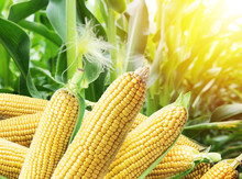 Ears Of Maize Or Corn In The S...