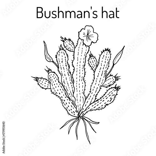 Bushmans Hat Hoodia Gordonii Medicinal Plant Buy This Stock