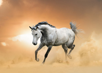 gray arabian stallion running in desert island