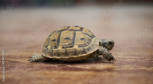 Foto op Canvas Schildpad A turtle walks on a wood floor