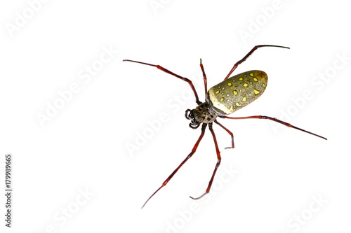 Image of batik golden web spider / Nephila antipodiana on white background. Insect Animal