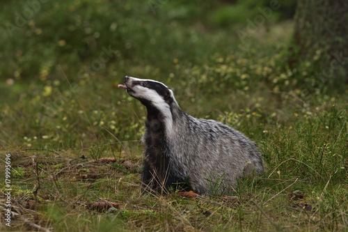 Beautiful European badger (Meles meles - Eurasian badger) in his natural environ Wallpaper Mural