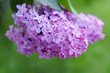 Purple lilac flowers outdoors in the sun