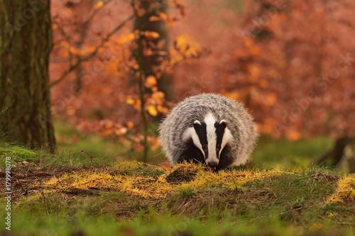 Fotografía Beautiful European badger (Meles meles - Eurasian badger) in his natural environ
