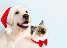 Cat And Dog Together, Neva Masquerade Kitten, Golden Retriever Looks At Right. Puppy With Christmas Hat And Bow. New Year Mood