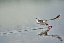 Feeding Black Skimmer
