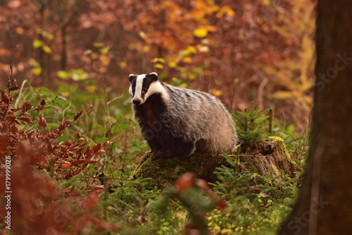 Photo Beautiful European badger (Meles meles - Eurasian badger) in his natural environ