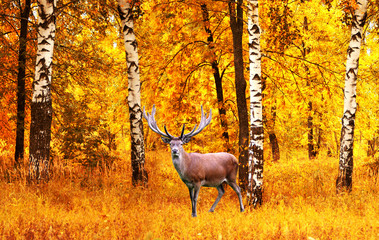 Fototapeta Brzoza Animal deer