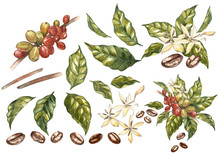 Set Of Red Coffee Arabica Beans On Branch With Flowers Isolated, Watercolor Illustration.