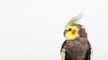 Portrait Of A Grey Cockatiel N...
