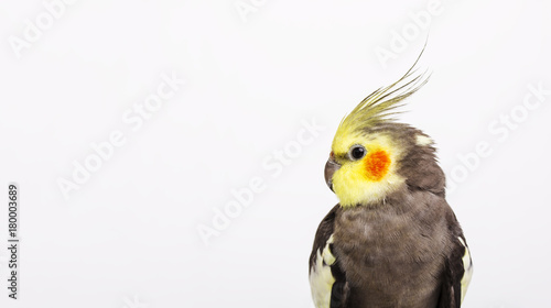 Valokuva  Portrait of a grey cockatiel Nymphicus hollandicus in front of white background