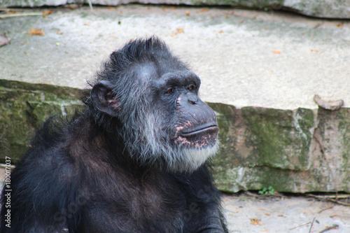Fotografie, Obraz  A Chimpanzee