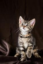 Portrait Of Tabby Kitten With ...