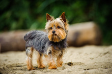 Yorkshire Terrier Dog Outdoor ...