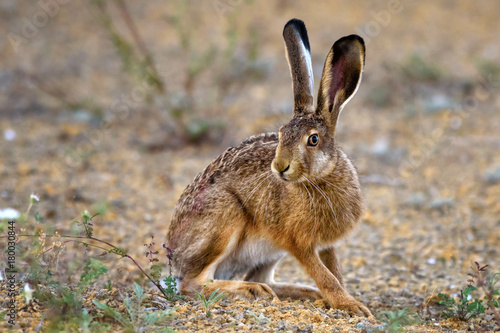 Fotografia, Obraz European hare stands on the ground and looking at the camera