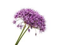 Allium Isolated
