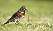Early Bird Fieldfare, Turdus Pilaris, On The Grass In The Park Catching A Worm.