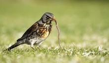Early Bird Fieldfare, Turdus P...
