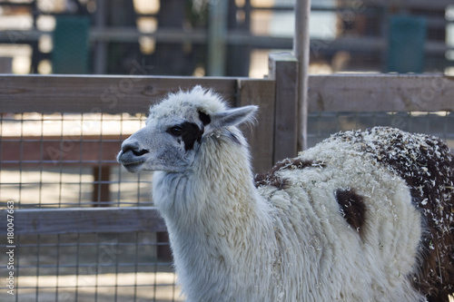Staande foto Lama Black & White Spotted Llama
