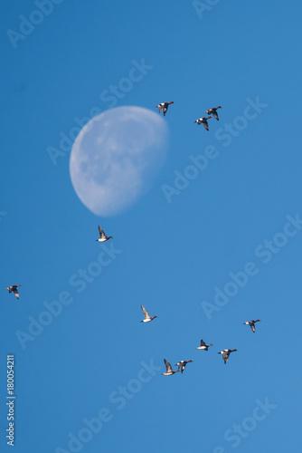 Eurasian Wigeon and Moon