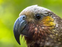 New Zealand Native Kaka Parrot