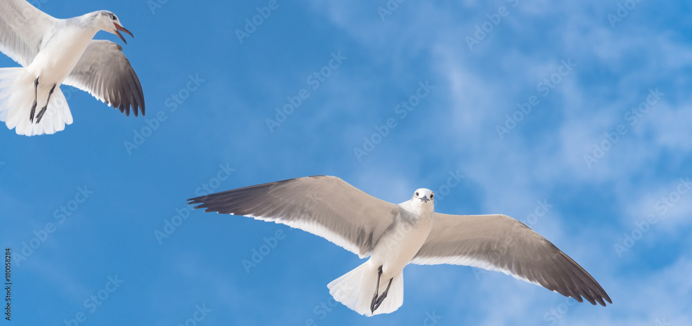 Close-up a group of large white seagulls soaring in the cloud blue sky. White wild birds flying against the sky. Concept for freedom. Panorama style.