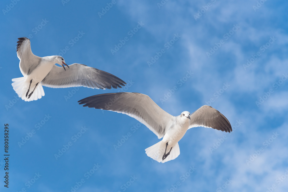 Close-up a group of large white seagulls soaring in the cloud blue sky. White wild birds flying against the sky. Concept for freedom.